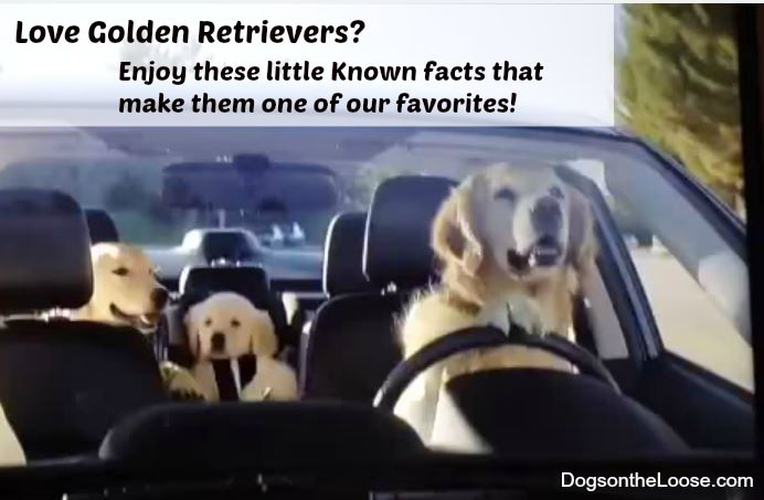 Enjoy these Surprising Facts about Golden Retrievers