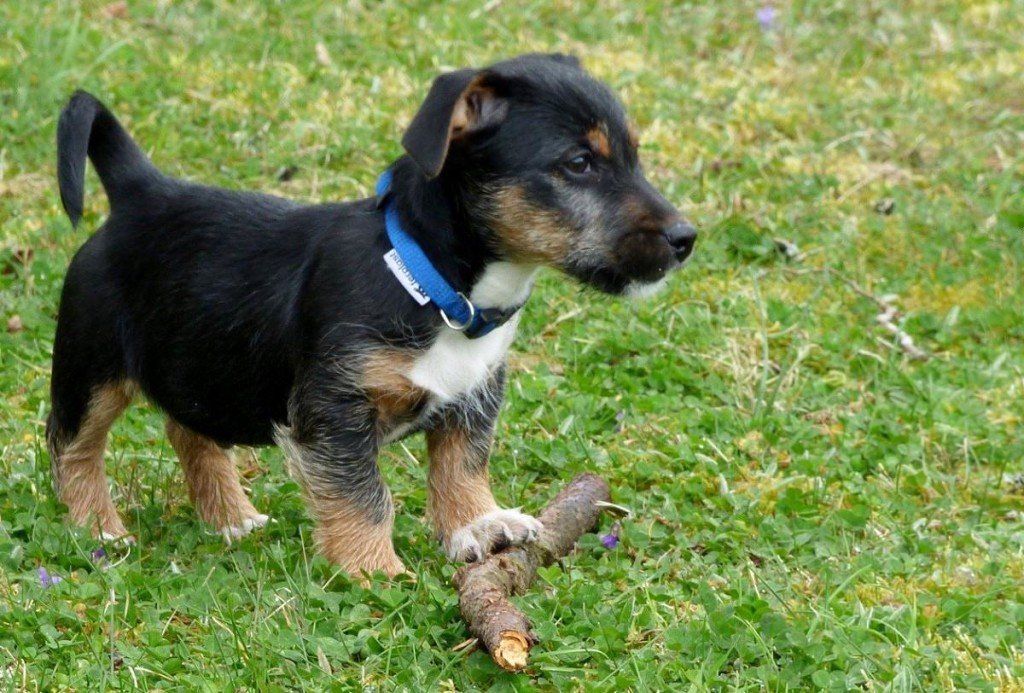 Start your puppy training early for best results
